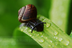 Out of the green (Emma Roos) Tags: green droplets snail nikond50 2007 naturesfinest sigma105mm instantfave anawesomeshot emmaroos