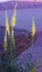 Prince's Plume (kathy hipsher photography) Tags: pink flower nature yellow rock canon river utah colorado purple desert canyon canyonlandsnationalpark coloradoriver moab