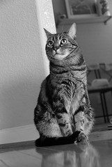 What's Up There? (mischiru) Tags: bw cat tabby kitty bestofcats boc0807