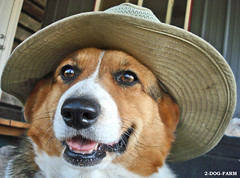 a true Montana cowboy, Corgi Style - by 2-Dog-Farm