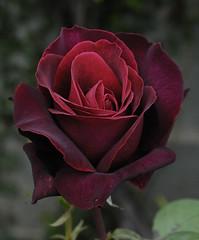 Deep Secret (Britta's photo world) Tags: flowers ireland dublin rose nikon secret deep fragrant britta 60mmf28dmicro niermeyer deepsecret brittasworldoffotos