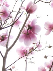 Rising Sun Magnolia (Harvey Schiller - chateauglenunga) Tags: pink flowers sun macro closeup out rising evening inn magnolia kensington onwhite topic blown oveeexposed