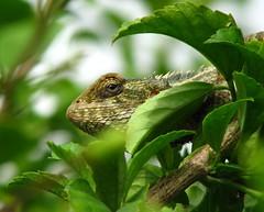 ML-Chameleon (1)