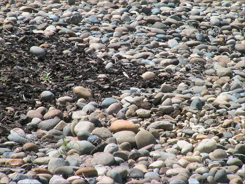 can_you_find_the_killdeer