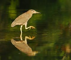 Black-crowned Night Heron (ozoni11) Tags: lake bird heron nature birds animal animals wings pond nikon wing lakes wetlands d200 ponds herons blackcrownednightheron interestingness283 i500 blackcrownednightherons animaladdiction ozoni11