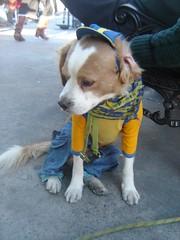 fantico de boca (c h i k i t a) Tags: chile dog argentina perro doggy bocajuniors fnatico