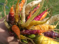 Crazy Carrot Crop 2007 (Netite) Tags: usa oregon garden crop carrot carrots homegrown hoodriver 2007 yellowcarrot purplecarrots purplecarrot yellowcarrots whitecarrots whitecarrot