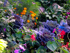 Julia's Garden (Allie's.Dad) Tags: flowers plants flower nature beautiful yard garden others topic avantgarden ornamentalcabbage flowerscolors favorites15 views2000 mybeautifulgarden