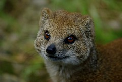 Lookin` mean (patries71) Tags: blijdorp sony yellowmongoose vosmangoest instantfave sonyalpha animalkingdomelite patries71