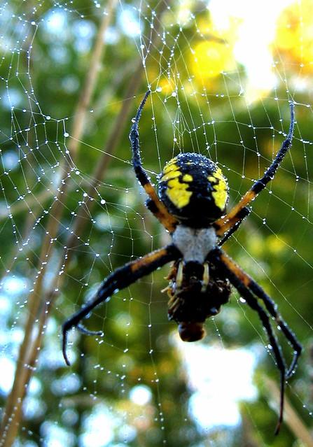 Morning Spider Dew