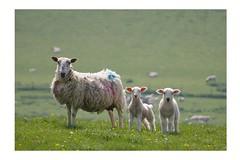 Family Photo (grahambrown1965) Tags: family wool sussex sheep pentax sigma lamb lambs eastsussex istds pentaxistds cuckmere ewe 55200mm sigma55200mm sigma55200mmf456dc mywinners aplusphoto diamondclassphotographer flickrdiamond thatsbostin justpentax
