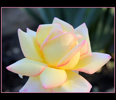 Evening rose (Lyubov) Tags: flowers roses flower nature beautiful rose garden ilovenature evening soe excellence blueribbonwinner supershot thebiggestgroup mywinners abigfave worldbest shieldofexcellence impressedbeauty diamondclassphotographer flickrdiamond adoublefave queenrose theperfectphotographer