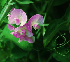 Sweetpeas! (Renee Rendler-Kaplan) Tags: pink flowers green nature garden backyard nikon gbrearview blossoms vine seeds sweetpea peas perennial gapersblock tendrils chicagoist peapods selfseeding nikond80 wellestablished thebestofmimamorsgroups reneerendlerkaplan seethefaceintheflowers