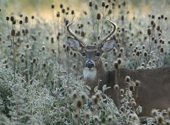 Early Morning Buck (trippleduces7) Tags: nature animals outdoors wildlife deer buck whitetail