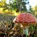 Morning Mushroom - Scott Dunwoodie