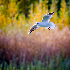 Colours of freedom (Marc Benslahdine) Tags: green colors animal yellow jaune automne freedom colours purple bokeh couleurs vert oeil vol bec oiseau mouette pattes plumes lightroom etang pourpre canonef70200mmf4lusm canoneos50d portraitanimalier marcopix marcbenslahdine fortdomainialedebondy gettyimagesfranceq1 marcopixcom