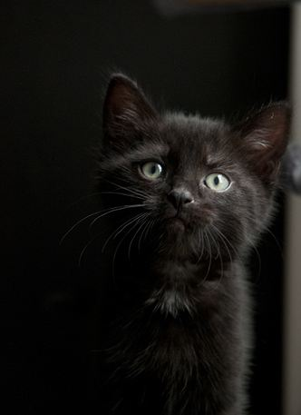 cute black kitten fluffy