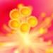 Hibiscus Extreme Close Up