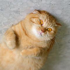 Insanity!!! (babykailan) Tags: bunny cat canon singapore 300d insanity scottishfold  wacky baobao ef50mmf14usm