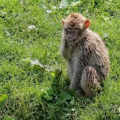 2007 June 19 (webted) Tags: thenetherlands sanctuary aap almere donate apen helluva berberaap exoticanimals opvang firsttheearth wowiekazowie stichtingaap exotischedieren wordtdonateur zielink httpwwwaapnlintenglishindexphp