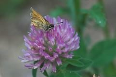 Wee moth