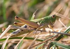 IMG_7831Crop (Yannig Van de Wouwer) Tags: macro fauna canon insect sprinkhaan grashopper ef100mm