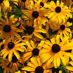 Black-Eyed Susans (Begineizer) Tags: black flower fleur yellow jaune garden susan jardin eyed blackeyedsusan rudbeckie rudbeckiahirta