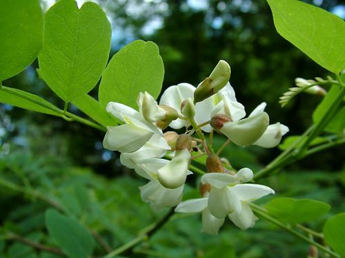 Black Locust - Robinia pseudoacacia by maxi millipede (flickr)