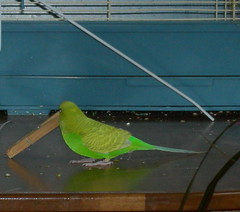 laundry_helper (PhotoPieces) Tags: bird budgie parakeet ilovebirds