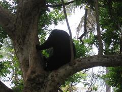 Sri Chamarajendra Zoological Gardens (dciandy) Tags: bear india zoo mysore mysorezoo bearintree srichamarajendrazoologicalgardens