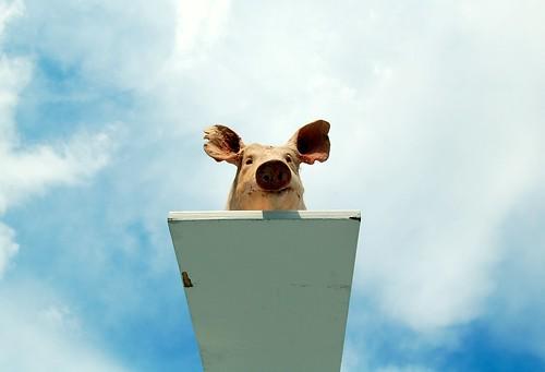 cochon au bord du suicide