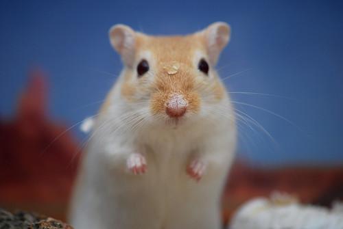 フリー写真素材, 動物, 哺乳類, ネズミ上科, スナネズミ,