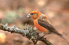 crociere maschio (marchgraziano) Tags: birds uccelli val f alpi trentino dolomiti crociere crosnobol iemme