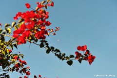Daylight Moon (Blast_Furnace 2) Tags: red moon flower june nikon sãopaulo vermelho sp lua nikkor flo piedade junho d700 2470mmf28g