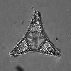 Trinacria deciusi summaria (california academy of sciences g