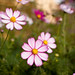 Photo: Cosmos bipinnatus