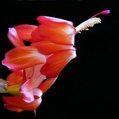 Red (njchow82) Tags: red plant nature closeup houseplant vibrant vivid christmascactus onblack njchow82 dmcfz35