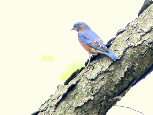 Eastern Bluebird 3-20101024