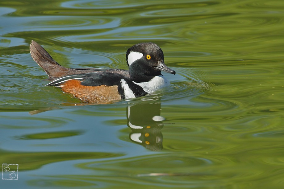 Hooded Merganser 111010-2