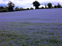 Feeling Blue? (algo) Tags: blue england photography topf50 topv333 bravo searchthebest quality chilterns hedge fields algo flax halton linseed naturesfinest magicdonkey flaxseed instantfave speclandscape anawesomeshot 200750plusfaves