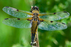Four-spotted chaser (Libuella quadrimaculata) 2 (wolf 359) Tags: insect four wings dragonfly wildlife spotted chaser tamron70300 quadrimaculata libuella