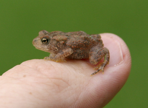 Very Little Toad