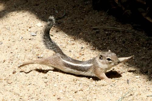 [フリー画像] 動物, 哺乳類, リス科, リス, 背伸び・ストレッチ, 201007271100