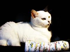 Miú (Bia P) Tags: pets white cute animals cat fur gato purr cc100