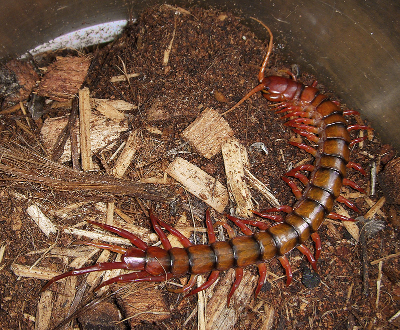 The World's Best Photos of centipede and malaysian - Flickr