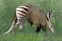 aardvark_zebra.jpg