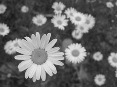 WTMW Challenge daisy black and white (picsbyrita) Tags: blackandwhite bw white black daisy challenge wtmw welcometomyworld everyghingisbeautiful