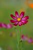 (kaycatt*) Tags: pink flowers flower breastcancer soe cosmos naturesfinest blueribbonwinner tamron90 specnature impressedbeauty superaplus aplusphoto lightstylus passionatelypinkforthecure