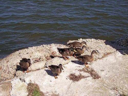 My ducks!