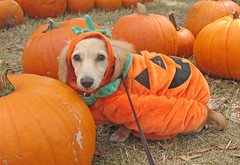 Pumpkin pup (Doxieone) Tags: orange dog fall halloween pumpkin video cream dachshund honey blonde 2007 coll 373 honeydog englishcream ultrakawaii honeyset fallhalloween200672008set
